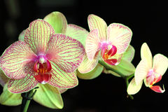 Beautiful orchid on a black background Stock Photography