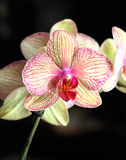 Beautiful orchid on a black background Royalty Free Stock Images