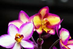 Beautiful orchid bloom in Thailand Royalty Free Stock Photography