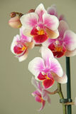 Beautiful Orchid Blossom Royalty Free Stock Photos