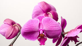 Orchid blossoms Royalty Free Stock Photos