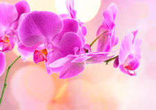 Beautiful Orchid and blur bokeh Royalty Free Stock Images