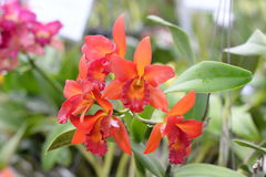 Beautiful orchid on blurred background ,selective focus. Royalty Free Stock Photo