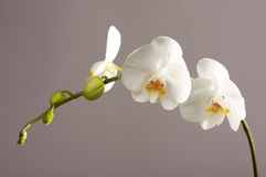 Beautiful Orchid Branch Blossom Stock Photography