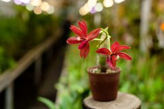 Beautiful orchid in brown pot. Stock Photography
