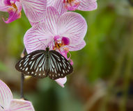 Beautiful Orchid with butterfly Stock Photo