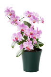 Beautiful orchid in the cache-pot isolated Stock Photos
