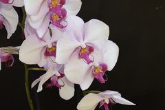 Beautiful orchid close up in my room Royalty Free Stock Image