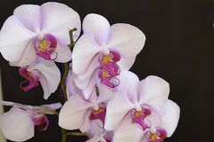 Beautiful orchid close up in my room Royalty Free Stock Photo