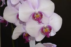 Beautiful orchid close up in my room Stock Image