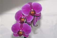 Beautiful orchid Stock Image