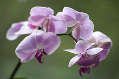 Beautiful Orchid with Drop Water Stock Photos