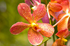Beautiful Orchid Flower. Orchid Flower with Dew Drops stock photo