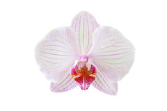 A Beautiful orchid flower. Beautiful orchid flower isolated on white background Royalty Free Stock Photography