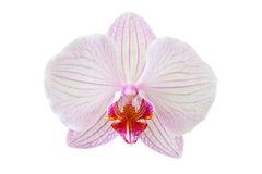 A Beautiful orchid flower Stock Photo