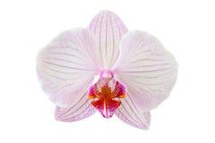 A Beautiful orchid flower. Beautiful orchid flower isolated on white background Stock Photo