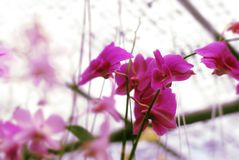 Beautiful orchid flower blooming for wallpaper stock images