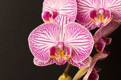 Beautiful Orchid flower. Close up. Orchid Bud.  stock photos