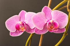 Beautiful Orchid flower.  Close up. Orchid Bud. Beautiful Orchid flower. Close up. Orchid Bud stock photos