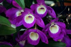 Beautiful orchid flower. Dendrobium nobile. Close-up. Macro Stock Images