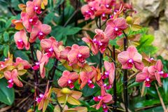 Beautiful orchid flower and green leaves background in the garden. Orchids close up. The Orchidaceae are a diverse and widespread family of flowering plants stock photos
