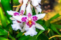 Beautiful orchid flower and green leaves background in the garden. Orchids close up. The Orchidaceae are a diverse and widespread family of flowering plants royalty free stock photo