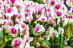 Beautiful orchid flower and green leaves background in the garden. Orchids close up. The Orchidaceae are a diverse and widespread family of flowering plants royalty free stock image