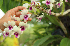 Beautiful orchid flower in hands. A Beautiful orchid flower in hands Royalty Free Stock Photos