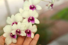Beautiful orchid flower in hands. Beautiful orchid flower in hands Royalty Free Stock Photography