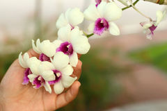 Beautiful orchid flower in hands. Beautiful orchid flower in hands Stock Photos