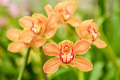 Beautiful orchid flower with natural background Royalty Free Stock Images
