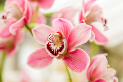 Beautiful orchid flower with natural background Stock Photography