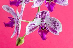 Beautiful Orchid flower Royalty Free Stock Image
