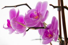 Beautiful orchid flowers. Stock Photography