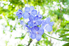 Beautiful orchid flowers blue Hybrid Vanda Royalty Free Stock Photography