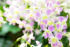 Beautiful orchid flowers in garden royalty free stock photo
