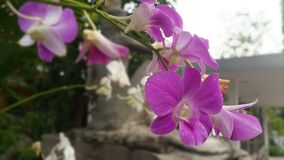 Beautiful orchid flowers at the garden in Thailand. royalty free stock image