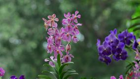 Beautiful orchid flowers in the park. Orchid flowers at Tao Dan park in Saigon, Vietnam. Tao Dan Park covers 10 hectares with over 1000 big trees, an ideal green stock video