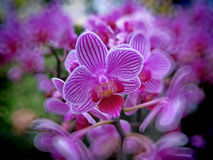 Beautiful orchid flowers. In Thailand Stock Photo