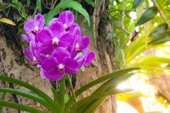 Beautiful orchid flowers Violet Hybrid Vanda Royalty Free Stock Image