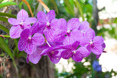 Beautiful orchid flowers Violet Hybrid Vanda Stock Photo