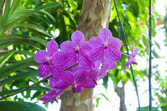 Beautiful orchid flowers Violet Hybrid Vanda Royalty Free Stock Photography