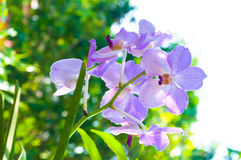 Beautiful orchid flowers Violet Hybrid Vanda are blooming in garden Royalty Free Stock Photography