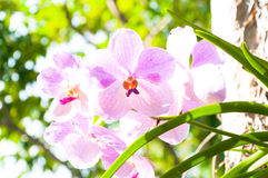 Beautiful orchid flowers Violet Hybrid Vanda are blooming in garden Royalty Free Stock Photo