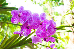 Beautiful orchid flowers Violet Hybrid Vanda are blooming in garden Stock Photos