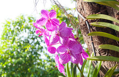 Beautiful orchid flowers Violet Hybrid Vanda are blooming in garden Stock Image