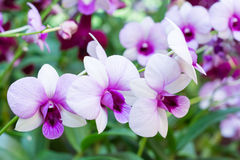 Beautiful orchid flowers. Violet orchid in nature. purple orchid Royalty Free Stock Photos