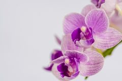 Beautiful orchid flowers of white and purple and a white background. Orchid flowers macro view on a white background stock photos