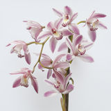 Beautiful Orchid Bloom Stock Photo