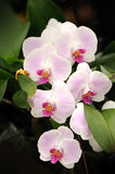 Beautiful orchid in the garden. Stock Photo